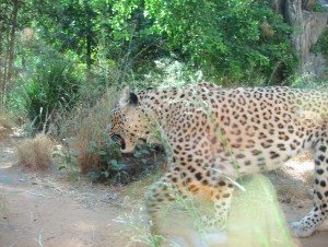 Tiger - Shechan ha namer