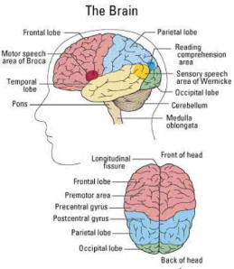 The Brain Main Parts